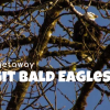 Thumbnail image for Wildlife Trip: See the Skagit Eagles