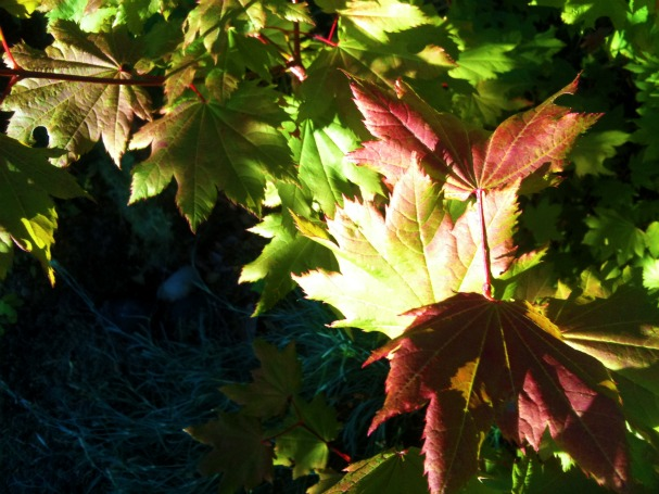 red vine maple in Seattle
