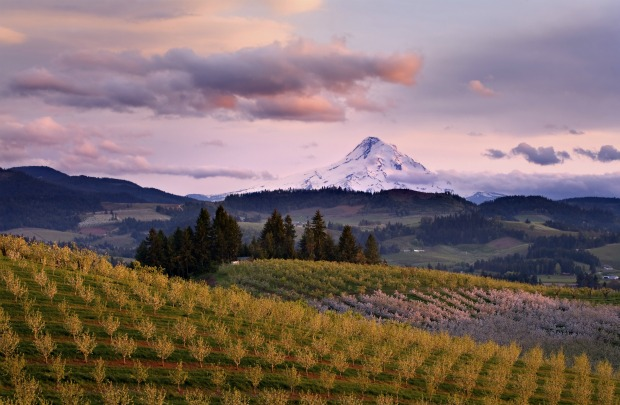 Mt. Hood backdrops Hood River Valley orchard