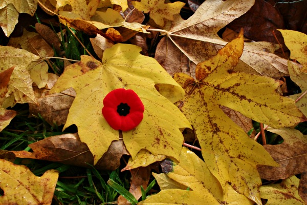 Remembrance Poppy among autumn leaves