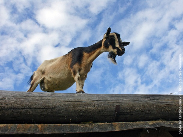 Goat on Coombs Market roof by Kentrosaurus