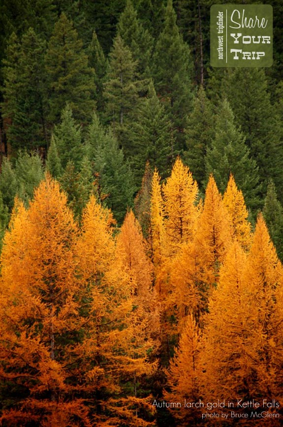 Autumn Larch Gold in Kettle Falls