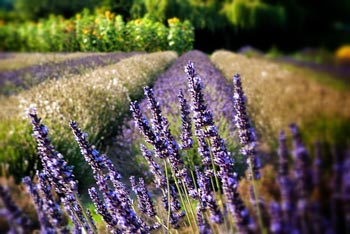 Sequim lavender by Orkybash