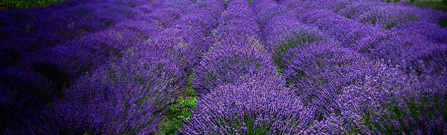 Lavender farm on Whidbey Island by Doverachiever