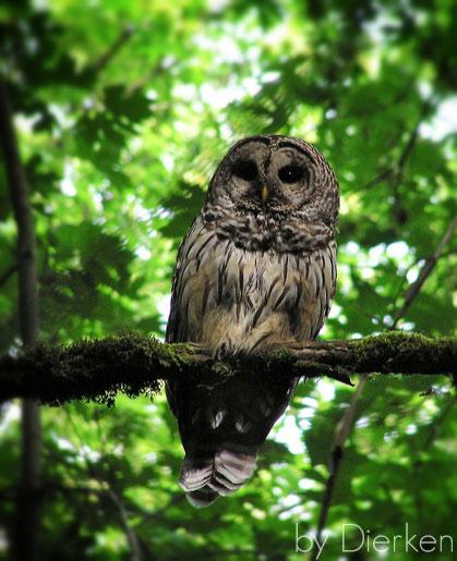 barred-owl-by-dierken