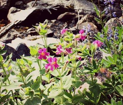 When do Mt. Rainier wildflowers reach their peak?
