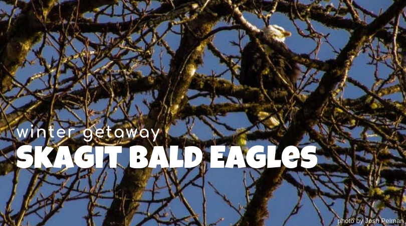 Winter Day Trip: See the Skagit Bald Eagles