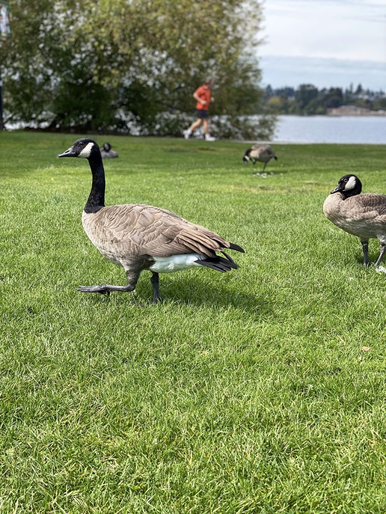 Canada geese are common at Green Lake